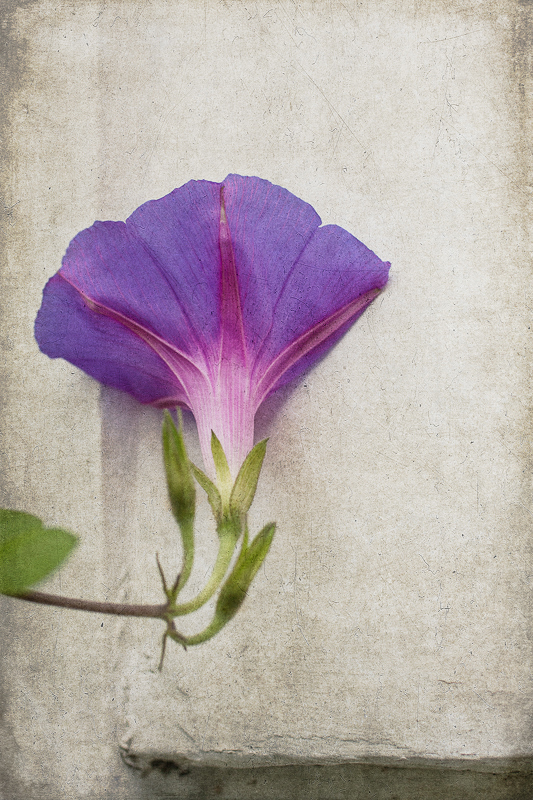Morning glory with added texture
