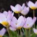 140414_002_tulipa