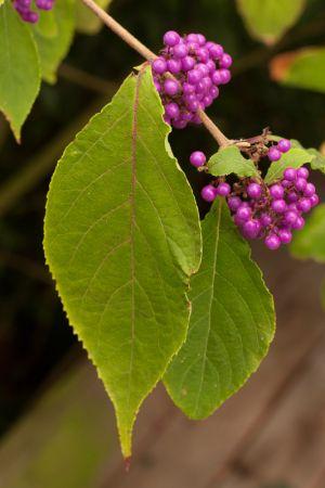 Callicarpa sp.